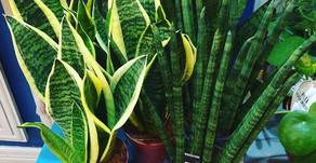 Sansevieria :  plante facile