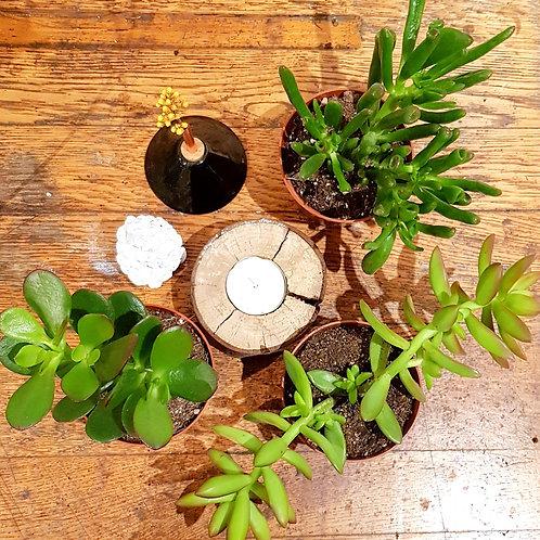 Lot 3 succulentes pots de 9 cm