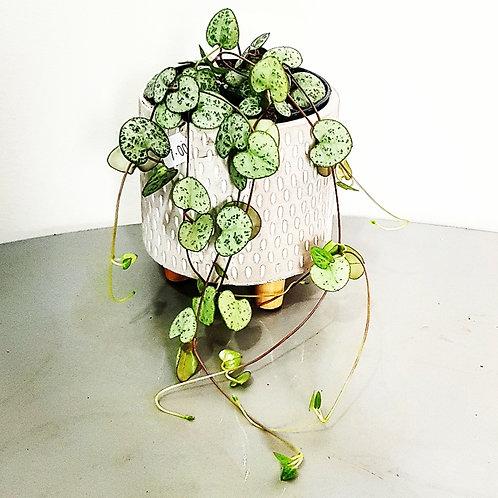 Ceropegia - Chaine de coeur - pot de 5 cm