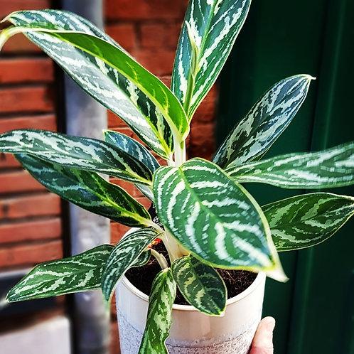 Aglaonema Pictum - pot 12cm
