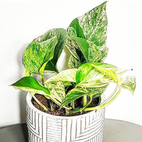 Pothos marble queen - pot de 12cm