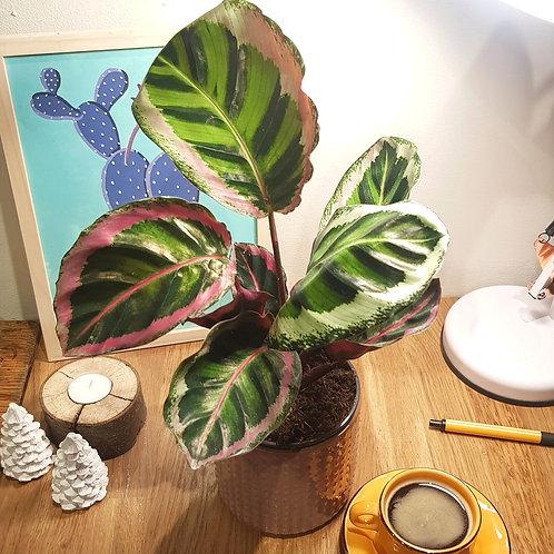 Calathea Roseopicta cora - pot de 11cm