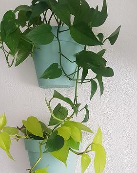 pothos plante grimpante tombante interie