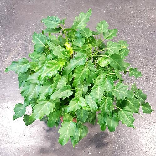 Philodendron Xanadu - pot de 25cm