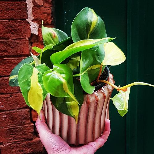Philodendron Brasil - pot de 11cm