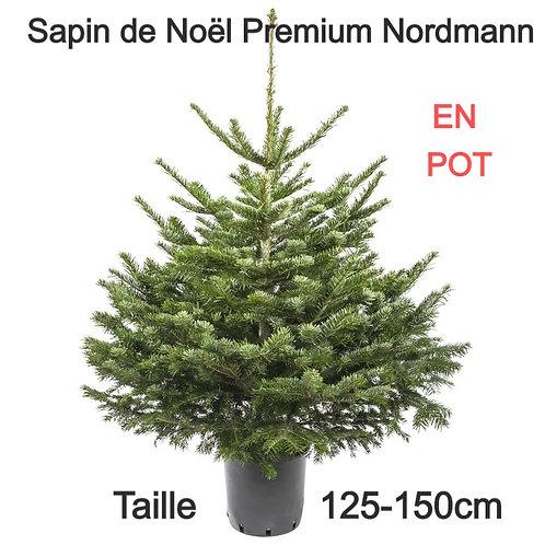 Sapin de Noël Naturel en POT - Variété Nordmann - 125-150cm