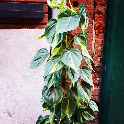 Philodendron Brasil tuteur - pot de 17cm hauteur 90cm
