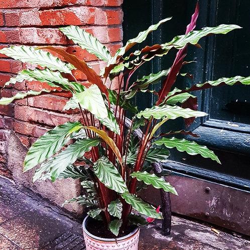 Calathea rufibarba - pot de 21cm