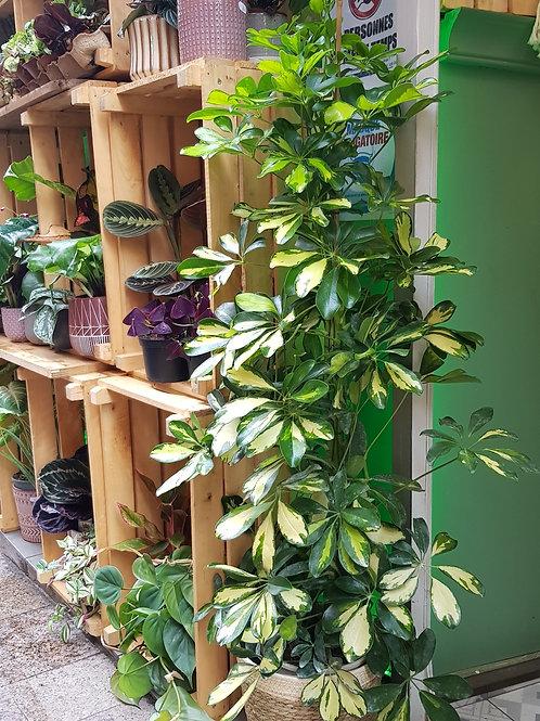 Schefflera 3 pieds - Pot de 20 hauteur 1m20