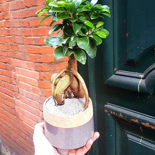Ficus Ginseng Bonzaï avec son cache pot
