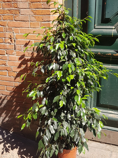 Ficus Benjamina Danielle - Pot de 22 hauteur 1m50