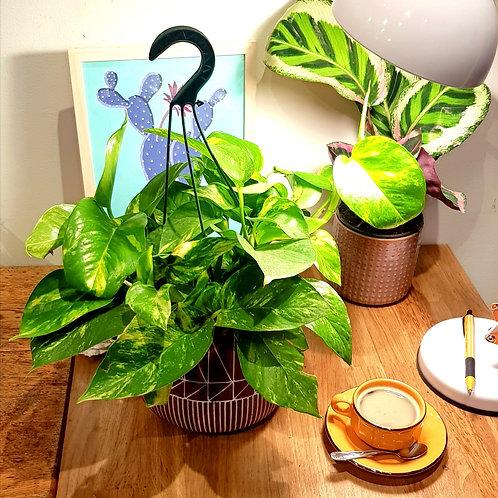 Pothos golden- pot de 19cm
