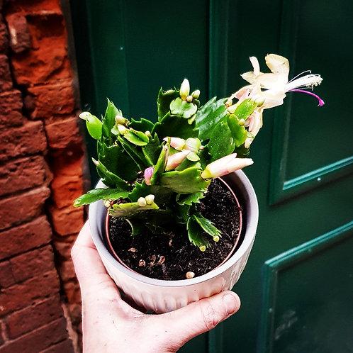 Schlumbergera truncata - Cacuts de Noël pot 8cm - cache pot non compris