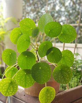 plante interieur pilea.jpg