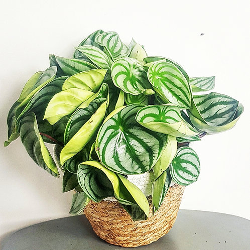 Peperomia Watermelon - Pot de 15cm