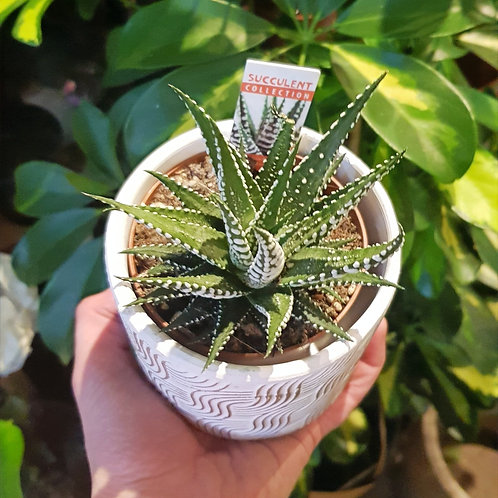 Aloe vera décorative Haworthia fasciata 'Big Band' - pot de 8cm
