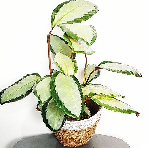 Calathea Tanja - pot de 14cm