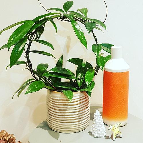 Hoyas Pot  12cm - Hauteur 30cm