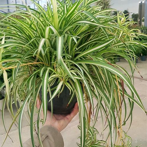 Chlorophytum suspension - pot de 21cm