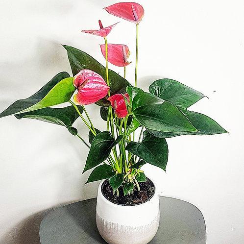 Anthurium - Pot de 13cm