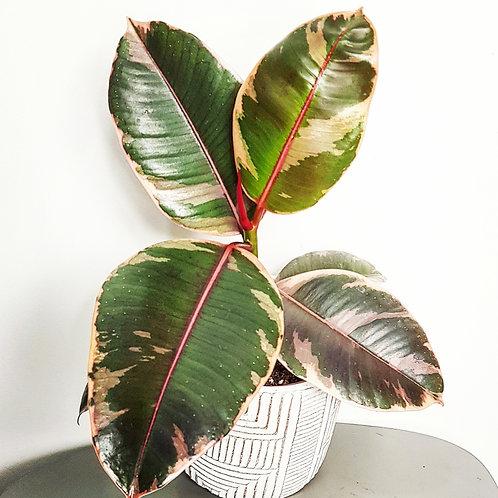 Ficus Elastica Belize  - Pot de 12cm