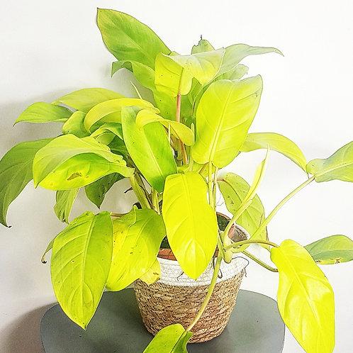 Philodendron Malay Gold (Golden goddess – Lemon Lime) - pot de 14cm