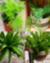 fougere plante verte interieur ombre.jpg