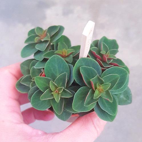 "Bébé peperomia ""verticillata"" Pot de 5cm"