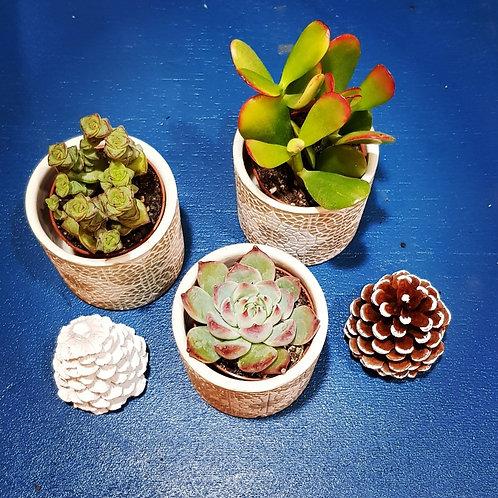 Lot 3 succulentes pots de 5 cm - cache pot non compris
