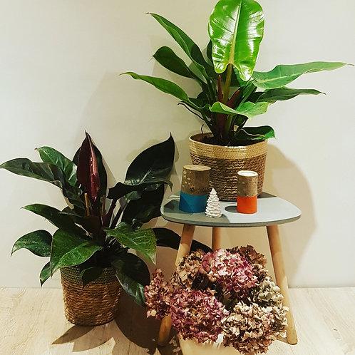 Philodendron Imperial Red - pot de 19cm Hauteur 50cm