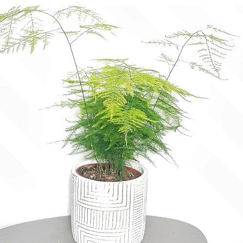 Asparagus plumosus - pot de 13 cm