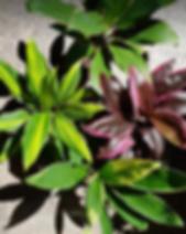cordyline plante verte interieur couleur