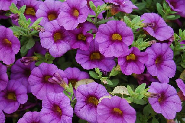 WDHS- Calibrachoa-Purple.jpg