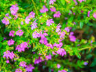 """CUPHEA - MEXICAN HEATHER - Specialty Annuals     4.5"""" Pot"""