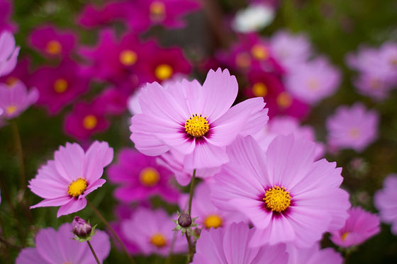 WDHS - Cosmos-Pink.jpg