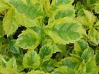 "DURANTA - Specialty Annuals     4.5"" Pot"