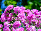 """CARNATION  - Specialty Annuals     4.5"""" Pot"""
