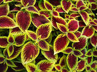 "COLEUS -KONG - Specialty Annuals     4.5"" Pot"