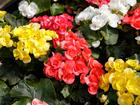 """BEGONIA DOUBLET  - Specialty Annuals     4.5"""" Pot"""