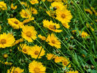 """COREOPSIS  - Specialty Annuals     4.5"""" Pot"""