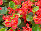 """BEGONIA - WHOPPER 30"""" - Specialty Annuals     4.5"""" Pot"""