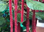 "CHENILLE PLANT - Specialty Annuals     4.5"" Pot"