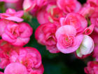 """BEGONIA - TUBEROUS   - Specialty Annuals     4.5"""" Pot"""