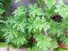 """CITRONELLA  - Specialty Annuals     4.5"""" Pot"""