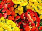 "CALCEOLARIA - Specialty Annuals     4.5"" Pot"