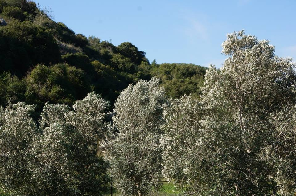 עצי זית