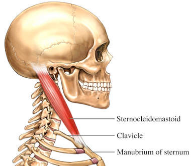 Muscle Review: Sternocleidomastoid (SCM)
