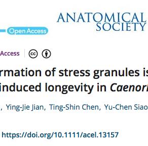 I granuli di stress sono necessari per la longevità indotta dalla restrizione calorica