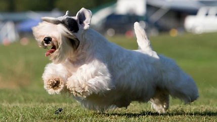Sealyham terrier running