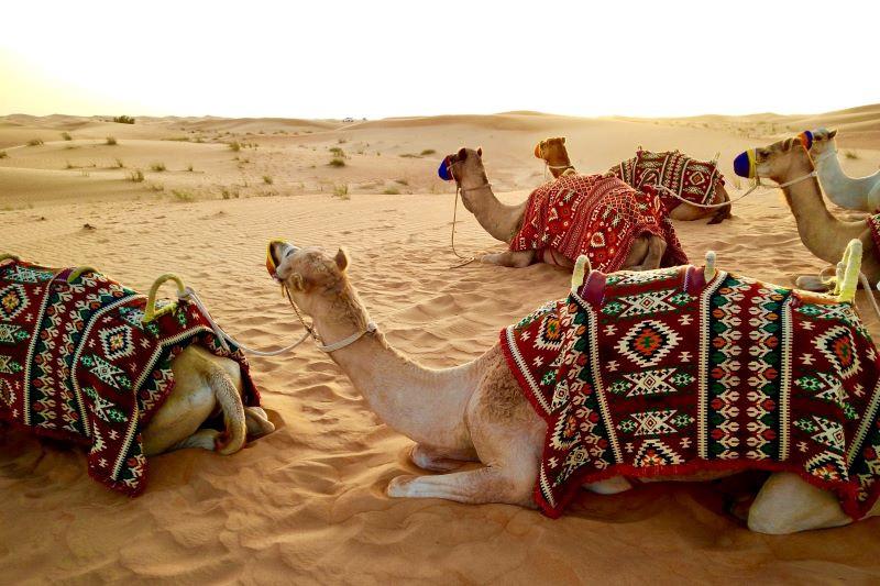Camels in the Arabian Desert near Dubai